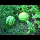 Growing picking and eating your own watermelon free.