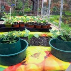 Planting Tomatoes Into Grow Pots In My Greenhouse