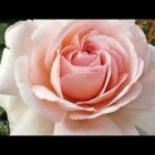 Better Homes and Gardens – How to plant roses