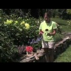 All About Dahlias – How to Plant Dahlia Flowers from White Flower Farm