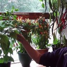 Allotment Diary : How to grow Chillies easily : This years Chilli Plants