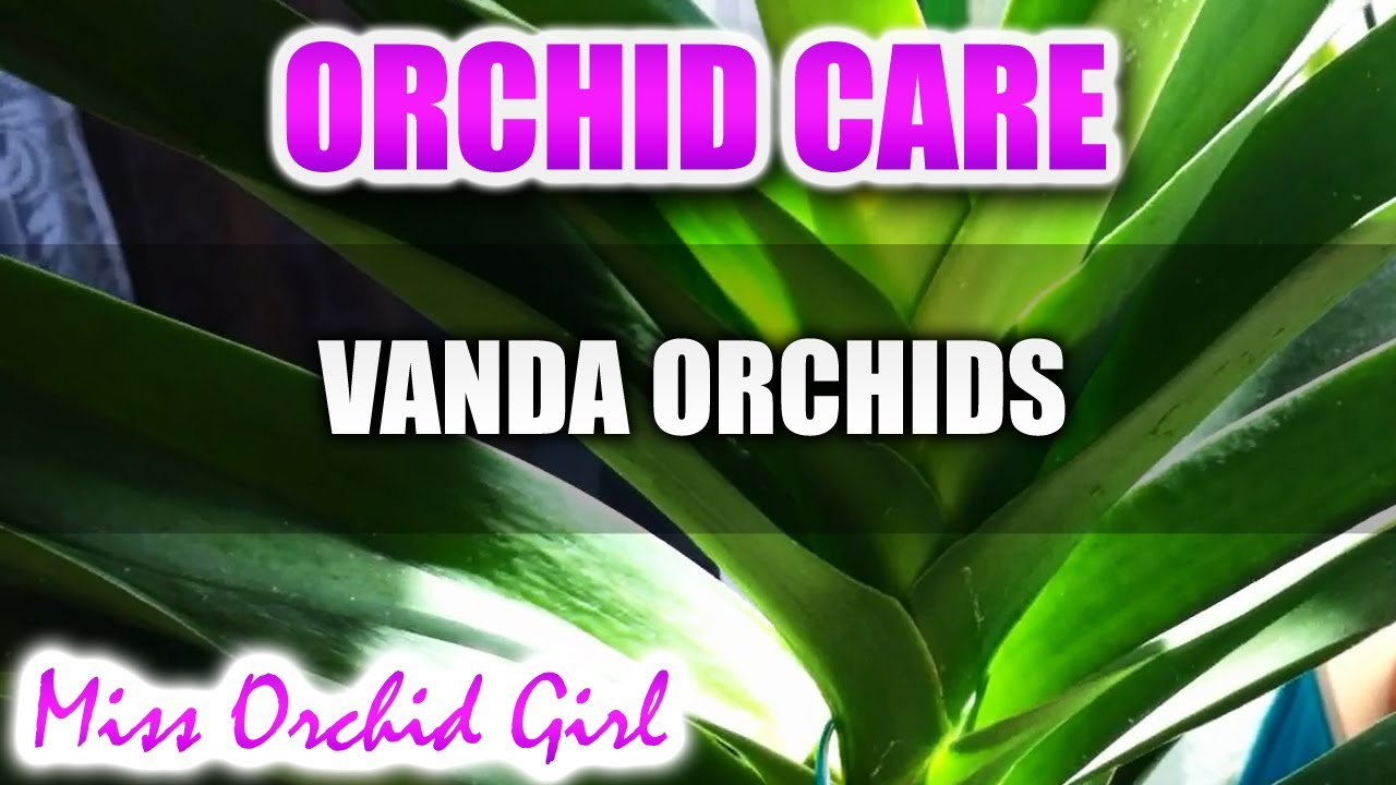 Orchid care how to care for vanda orchids watering fertilizing reblooming - Vanda orchid care ...