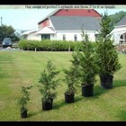 remove tree from pot before planting