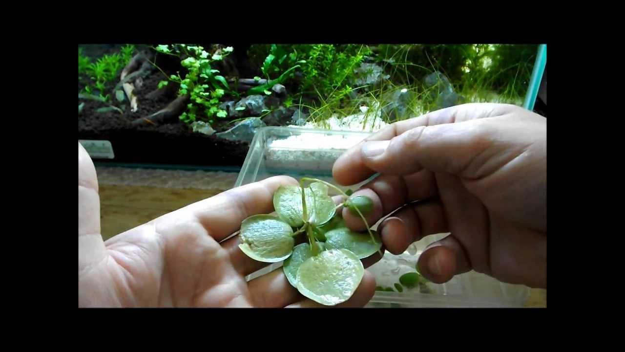 Aquarium Plant Discussion About Floating Plants Frogbit
