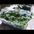 Container Gardening – Cantaloupe, Zucchini, Spearmint, Green Beans, Lettuce! (Compost Pile)