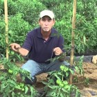 How to Grow Tomatoes: Staking