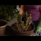How to Re-Pot Chrysanthemum : Plant & Flower Care