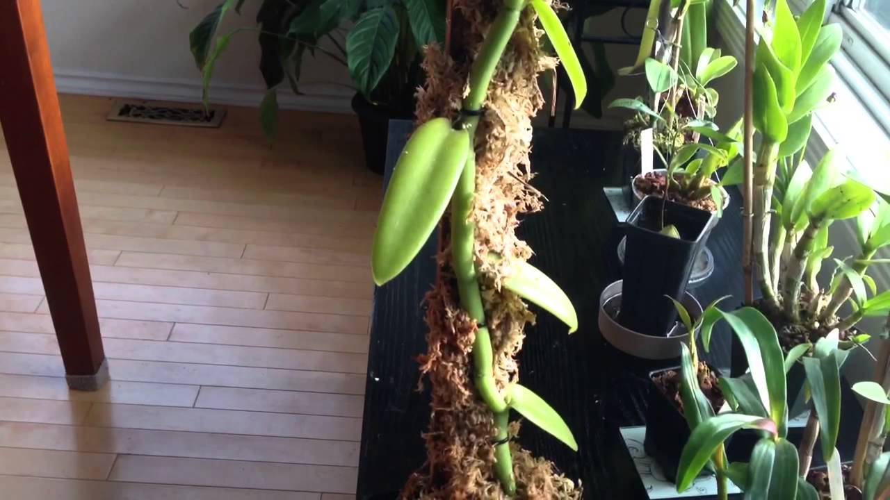 Orchid Care Growing Vanilla Orchids My Care And Culture Tips In The Home And Greenhouse likewise 5 likewise Caring For Your Potted Orchid as well How A Plant Grows From A Seed A Sprouted Avocado Seed Plant Grows Fastest Seed together with How To Care For Orchids Indoors Everything You Need To Know 4812. on caring for orchid plants indoors