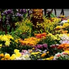 Floria Putrajaya 2013 – flowers for garden decoration