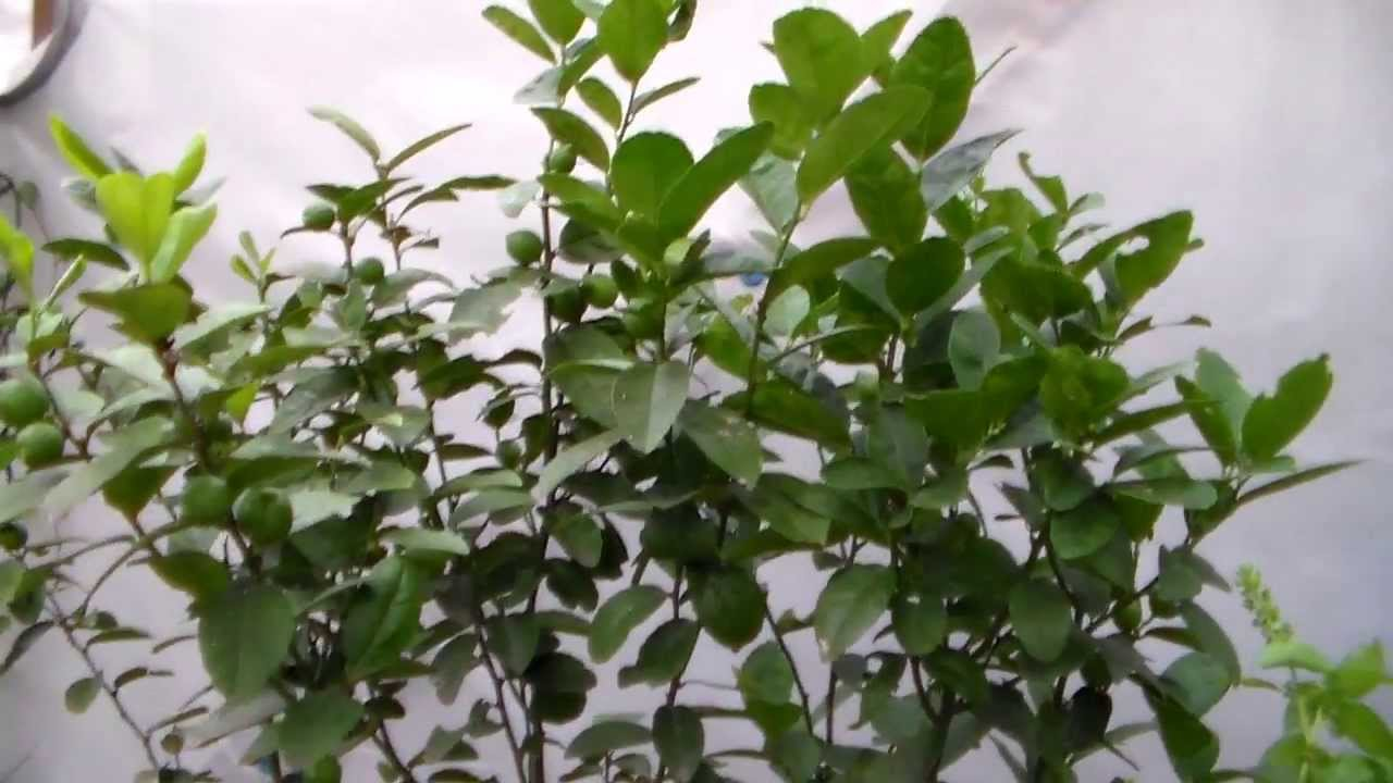 Key Lime Tree With Lots Of Fruit Container Gardening