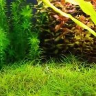 Planted Tank. Hair Grass Carpet.