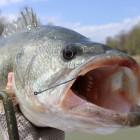 How To Fish a Senko – Texas Rigged Senko Bass Fishing Tips