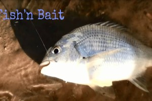 How to – Fishing with bait (yabbies)