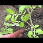 How to Plant Tomatoes Using the Trench Method
