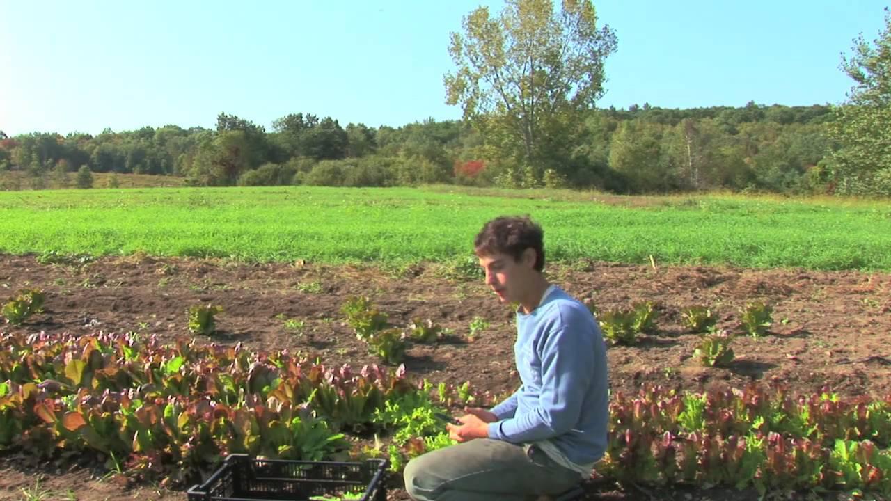 Vegetable fruit gardening how to harvest store - How to store lettuce from garden ...