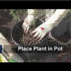 Vegetable Gardening : How to Plant Asparagus in a Container Garden