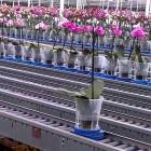 Enterprise Plants Phaelanopsis Orchids grown for UK Office Plant Displays