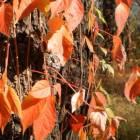 ландшафтный дизайн ЖИВАЯ ИЗГОРОДЬ Девичий виноград –  girlish grapes garden decoration