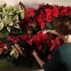 Decoration ideas for the home: Wall garden with poinsettias