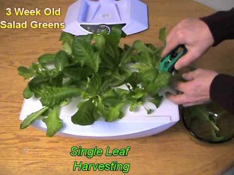 National indoor gardening month harvesting lettuce from for Indoor gardening expo 2014