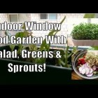 Indoor Window Gardening With Lettuce Greens Sprouts and Microgreens