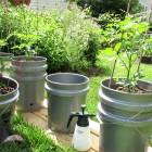 Early Update on My Self Watering Tomato Container Garden