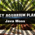 Easy aquarium plants – Java moss