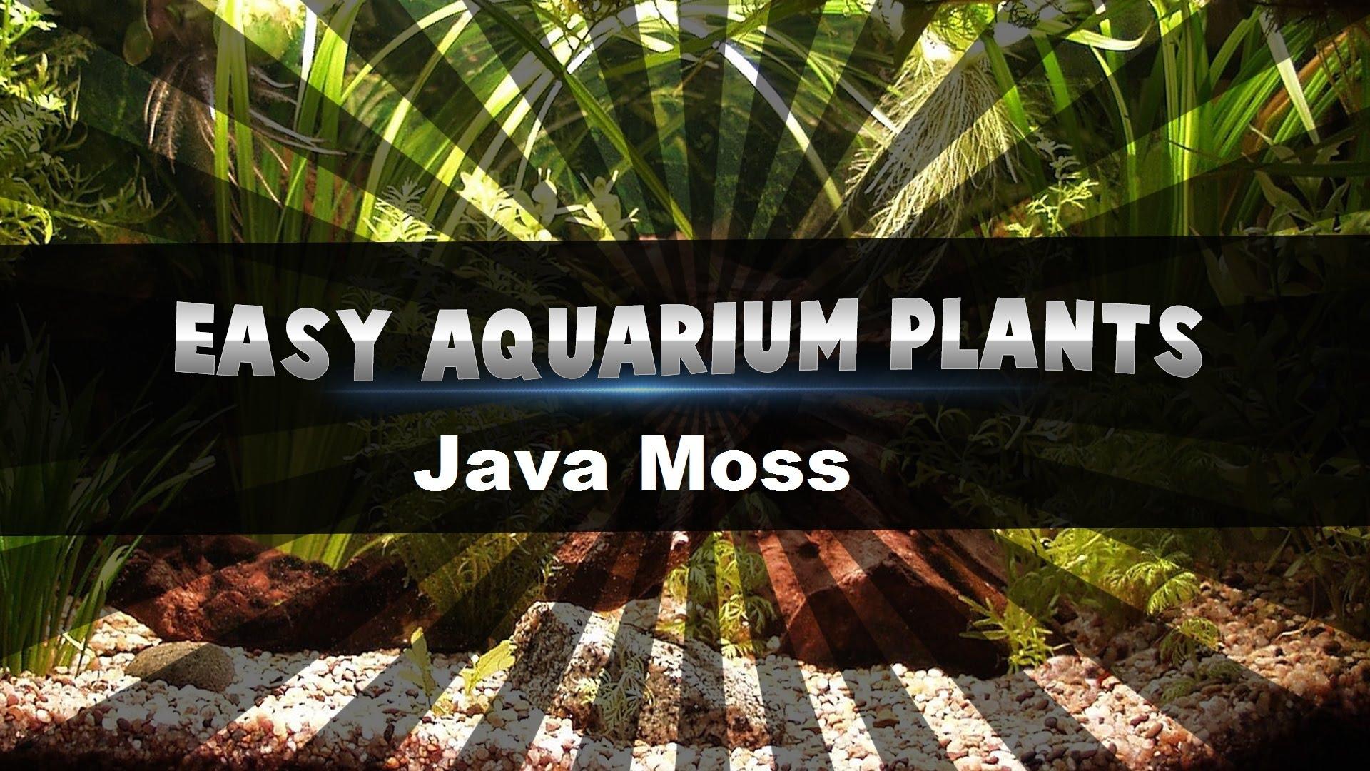 Easy Aquarium Plants Java Moss Qtinycom