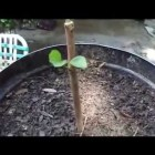 How To Grow Fruit Trees From Cuttings. By: Rick Gunter