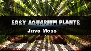 Easy aquarium plants - Java moss