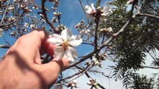 My Almond Tree--unlocking the food...