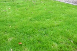 How to Plant Winter Grass: Update (One month after planting)