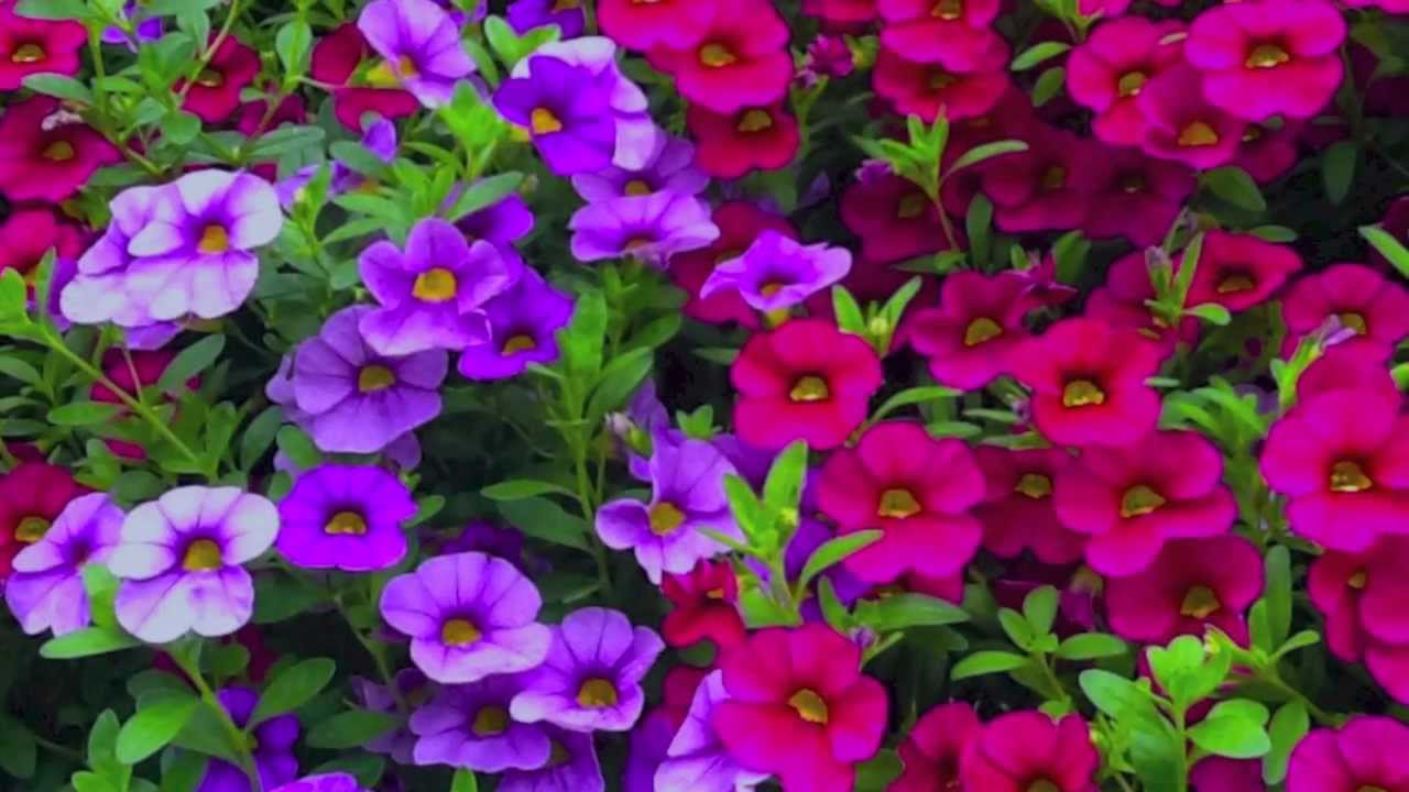 How To Grow Flowers Easy Annuals With Low Maintenance By Smiths Country Gardens Qtiny